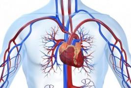 Интересные факты о сердце и кровеносной системе